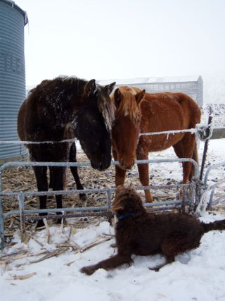 Horse frost